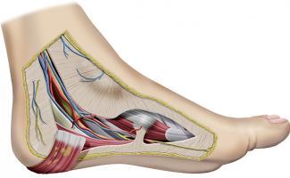 Anatomía del túnel tarsiano