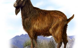 Ilustraciónn cabra Bermeja