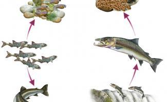 Ilustración ciclo salmón
