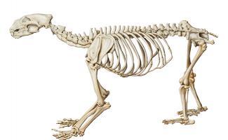 Ilustración esqueleto oso