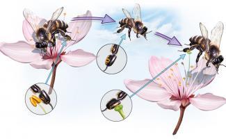 Ilustración polinización abejas