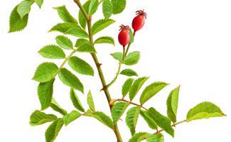 Ilustración rosal silvestre